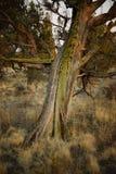Ένα δέντρο ιουνιπέρων σε αργά το απόγευμα στοκ εικόνα