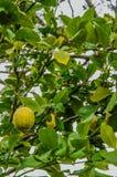 Ένα δέντρο λεμονιών στο οποίο κρεμάστε τα ώριμα και πράσινα φρούτα Λουλούδια σε ένα LE Στοκ Φωτογραφία