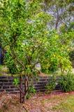 Ένα δέντρο λεμονιών στο οποίο κρεμάστε τα ώριμα και πράσινα φρούτα Λουλούδια σε ένα LE Στοκ Εικόνα