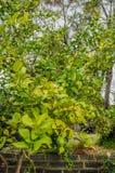 Ένα δέντρο λεμονιών στο οποίο κρεμάστε τα ώριμα και πράσινα φρούτα Λουλούδια σε ένα LE Στοκ φωτογραφία με δικαίωμα ελεύθερης χρήσης