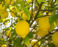 Ένα δέντρο λεμονιών Στοκ Φωτογραφίες