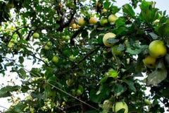 Ένα δέντρο με τα μήλα στο κατώφλι Στοκ εικόνα με δικαίωμα ελεύθερης χρήσης