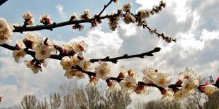 Ένα δέντρο που καλύπτεται με τα άσπρα λουλούδια στην άνοιξη στοκ εικόνες με δικαίωμα ελεύθερης χρήσης
