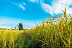 Ένα δέντρο στη μέση cornfield στοκ φωτογραφία