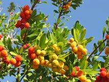 Ένα δέντρο φραουλών με το ώριμο frui Στοκ εικόνες με δικαίωμα ελεύθερης χρήσης