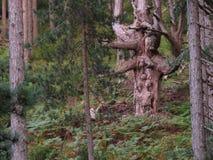 Ένα δέντρο χαμογελά στο δάσος στοκ φωτογραφίες με δικαίωμα ελεύθερης χρήσης