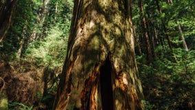 Ένα δέντρο Hallow στο Redwoods, Καλιφόρνια απόθεμα βίντεο