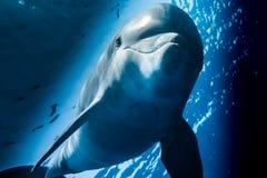 Ένα δελφίνι που κολυμπά στη Ερυθρά Θάλασσα α ε α Ε στοκ εικόνες