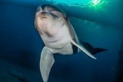 Ένα δελφίνι που κολυμπά στη Ερυθρά Θάλασσα Στοκ φωτογραφίες με δικαίωμα ελεύθερης χρήσης