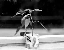 Ένα δενδρύλλιο σε ένα φλυτζάνι με το άσπρες υπόβαθρο και την επίδραση B&W Στοκ φωτογραφία με δικαίωμα ελεύθερης χρήσης