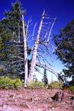 Ένα διασπασμένο δέντρο πεύκων Bristlecone Στοκ Εικόνες