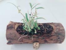 ένα δοχείο του μπονσάι Dendrobium στοκ φωτογραφίες με δικαίωμα ελεύθερης χρήσης