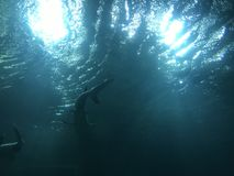 Ένα είδος καρχαρία στο Βιετνάμ στοκ εικόνες