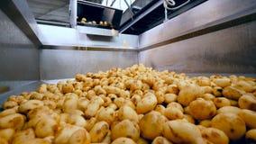 Ένα εμπορευματοκιβώτιο που γεμίζουν με τις καθαρές πατάτες σε μια δυνατότητα τροφίμων φιλμ μικρού μήκους