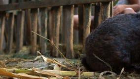 Ένα ενήλικο μαύρο κουνέλι τρώει το πράσινο φύλλωμα από έναν κλάδο καθμένος σε μια σιταποθήκη σε μια μάνδρα Αγρόκτημα κουνελιών απόθεμα βίντεο