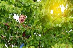 Ένα ενεργό και εύθυμο αγόρι συλλέγει και τρώει τα κεράσια σε ένα δέντρο Στοκ Εικόνες