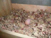 Ένα ενιαίο αυγό κοτόπουλου σε πουλερικά στοκ εικόνα