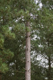 Ένα ενιαίο δέντρο πεύκων σε ένα δάσος πεύκων Στοκ φωτογραφίες με δικαίωμα ελεύθερης χρήσης