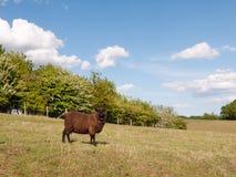 Ένα ενιαίο καφετί ντυμένο πρόβατο σε έναν τομέα στην επαρχία στο ded στοκ εικόνες με δικαίωμα ελεύθερης χρήσης