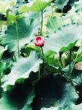 Ένα ενιαίο κόκκινο λουλούδι Στοκ εικόνες με δικαίωμα ελεύθερης χρήσης