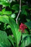 Ένα ενιαίο κόκκινο λουλούδι Firespike Στοκ Φωτογραφία