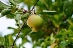 Ένα ενιαίο μήλο σε έναν κλάδο δέντρων στοκ εικόνες