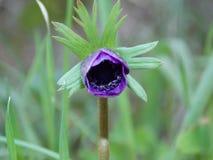 Ένα ενιαίο πορφυρό λουλούδι την άνοιξη στοκ εικόνες