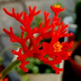 Ένα εξωτικό κόκκινο λουλούδι από τις Άνδεις στοκ εικόνα