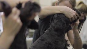 Ένα επαγγελματικό groomer γυναικών κουρεύει το μαλλί στο σκυλί με τον ηλεκτρο κουρευτή ζώων Λατρευτό εσωτερικό κατοικίδιο ζώο απόθεμα βίντεο