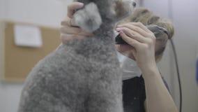 Ένα επαγγελματικό groomer γυναικών κουρεύει το μαλλί στο σκυλί με τον ηλεκτρο κουρευτή ζώων Λατρευτό εσωτερικό κατοικίδιο ζώο φιλμ μικρού μήκους