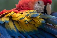 Ένα ερυθρό macaw σε Copan Ονδούρα Στοκ φωτογραφία με δικαίωμα ελεύθερης χρήσης