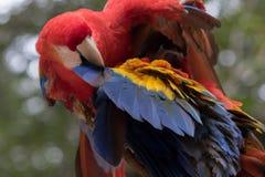 Ένα ερυθρό macaw σε Copan Ονδούρα Στοκ φωτογραφίες με δικαίωμα ελεύθερης χρήσης