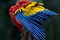 Ένα ερυθρό macaw σε Copan Ονδούρα Στοκ εικόνες με δικαίωμα ελεύθερης χρήσης