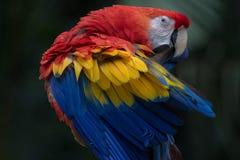 Ένα ερυθρό macaw σε Copan Ονδούρα Στοκ εικόνα με δικαίωμα ελεύθερης χρήσης