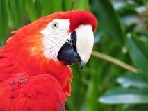 Ένα ερυθρό macaw Στοκ φωτογραφίες με δικαίωμα ελεύθερης χρήσης