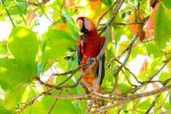 Ένα ερυθρό macaw Ara Μακάο Μακάο Στοκ φωτογραφία με δικαίωμα ελεύθερης χρήσης