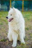Ένα λευκό σκυλιών Samoed Στοκ φωτογραφία με δικαίωμα ελεύθερης χρήσης