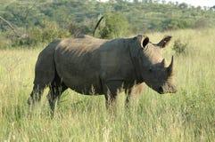 Ένα λευκό rhinocerous Στοκ φωτογραφία με δικαίωμα ελεύθερης χρήσης