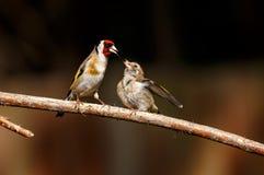 Ένα ευρωπαϊκό goldfinch που ταΐζει τον αρχάριό του στοκ φωτογραφία