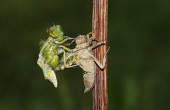 Ένα ευρύ ένσωματωμένο depressa Libellula λιβελλουλών κυνηγών που προκύπτει από την πλάτη της νύμφης Στοκ Εικόνες