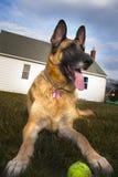 Γερμανικό σκυλί ποιμένων έξω με τη σφαίρα Στοκ Φωτογραφίες