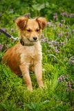 Ένα ευτυχές σκυλί περπατά στη χλόη και τα λουλούδια Οι περίπατοι κουταβιών στις άγρια περιοχές Στοκ Εικόνες