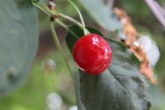 Ένα εύγευστο κόκκινο κεράσι ωρίμασε σε ένα δέντρο Στοκ φωτογραφία με δικαίωμα ελεύθερης χρήσης
