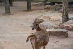Ένα ελάφι στο ζωολογικό κήπο και να φανεί πίσω πλευρά Στοκ Φωτογραφία