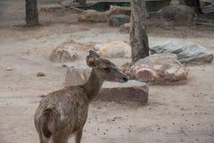 Ένα ελάφι στο ζωολογικό κήπο και να φανεί πίσω πλευρά Στοκ φωτογραφίες με δικαίωμα ελεύθερης χρήσης