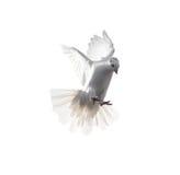 Ένα ελεύθερο πετώντας άσπρο περιστέρι που απομονώνεται σε ένα άσπρο υπόβαθρο Στοκ Φωτογραφία