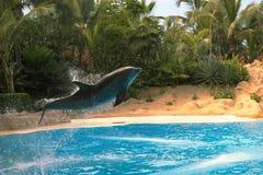 Ένα δελφίνι πηδά από έξω το μπλε νερό κοντά στην παραλία Τροπικός, λιμνοθάλασσα, ταξίδι Στοκ Εικόνα