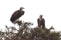 Ένα ζευγάρι αντιμέτωπων των Lappet γύπων Τανζανία Tom Wurl Στοκ Εικόνα