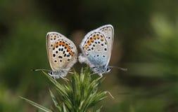 Ένα ζευγάρι ζευγαρώματος της ασημένιος-στερεωμένης μπλε πεταλούδας Plebejus Argus Στοκ φωτογραφία με δικαίωμα ελεύθερης χρήσης