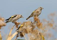 Ένα ζευγάρι νέο να ταΐσει goldfinch με τις εγκαταστάσεις στοκ φωτογραφίες με δικαίωμα ελεύθερης χρήσης